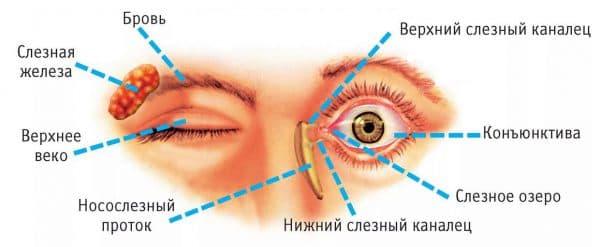Строение глазного века