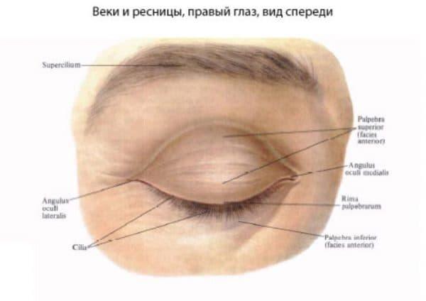 Анатомия глазных век
