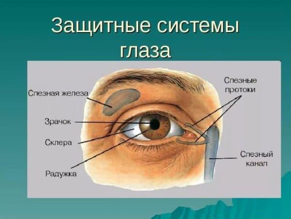 Схема функционирования слёзной железы