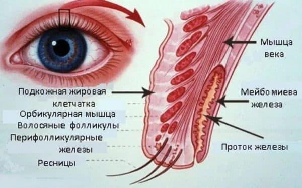 Мейбимиева железа